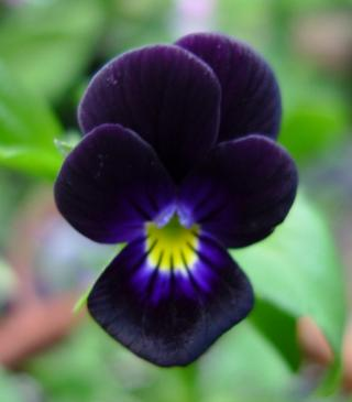 Bowles Black Viola