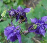 aquilegia with bee